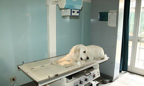 cane che riceve una radiologia
