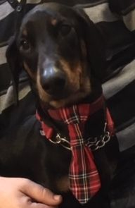 Frankie wearing his Tartan Dog Tie