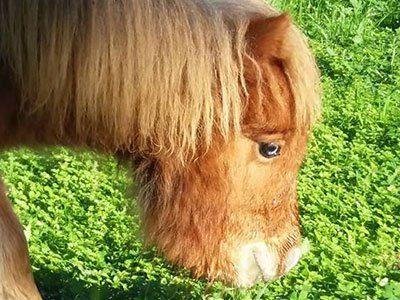 pony mentre mangia l`erba