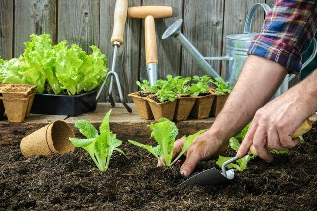 Coltivatore che pianta delle giovani piantine di insalata di lattuga nel orto