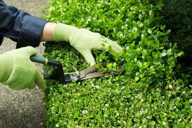 donna che taglia una siepe con guanti verdi