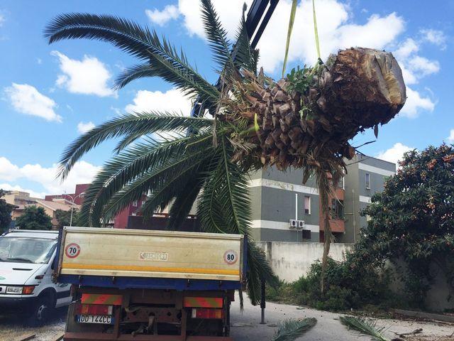 Spostamento palma a Impresa Giardini a Cannigione
