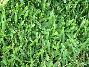 Albany Certified Palisades Zoysia Grass | Wright