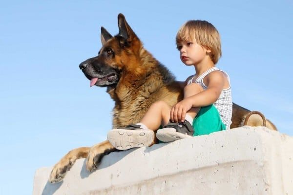 Trained Dogs For Sale San Jose Ca Full Contact K9