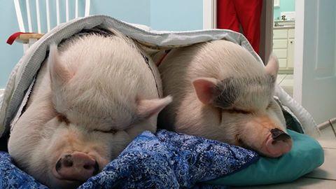 Pig boarding facility