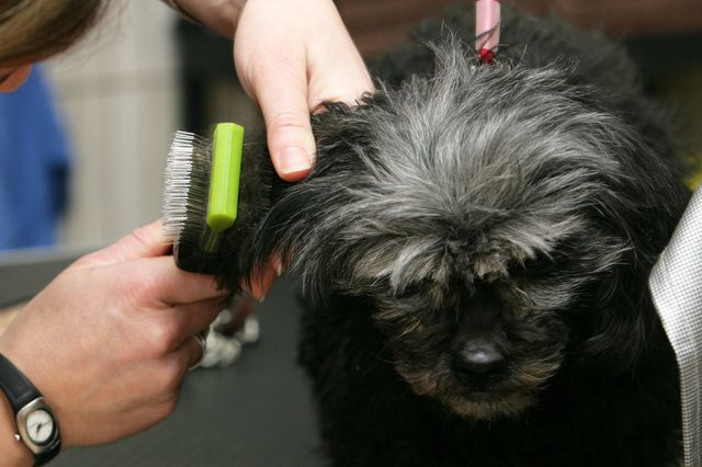 Dog being groomed at Marjon Kennel