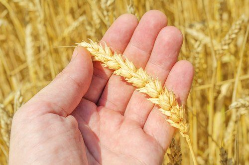 mano con spiga di grano