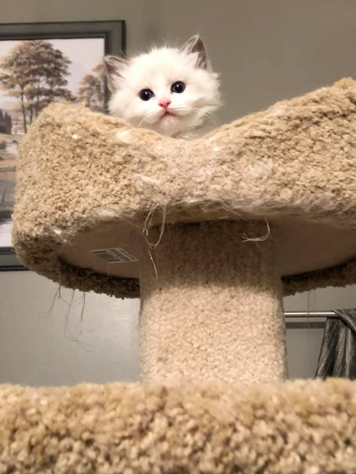 Marl Creek Ragdolls | Available Loving Kittens