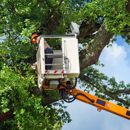 A worker in a hydraulic arm trims a large tree