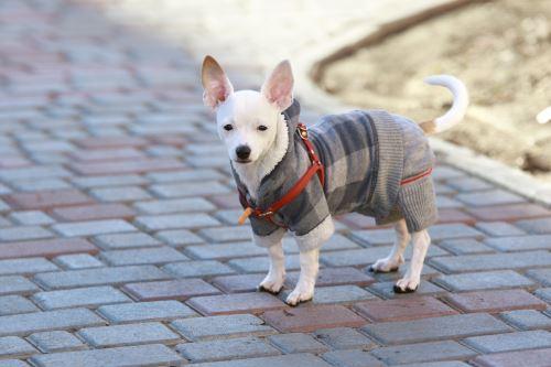 un cane bianco con un cappottino grigio