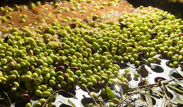 vista di tante olive in un frantoio
