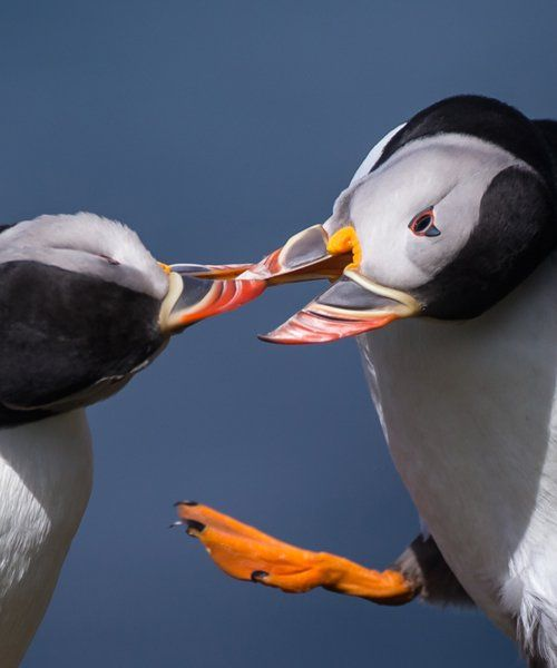 Puffins at Sunset Wildlife Photography Tour