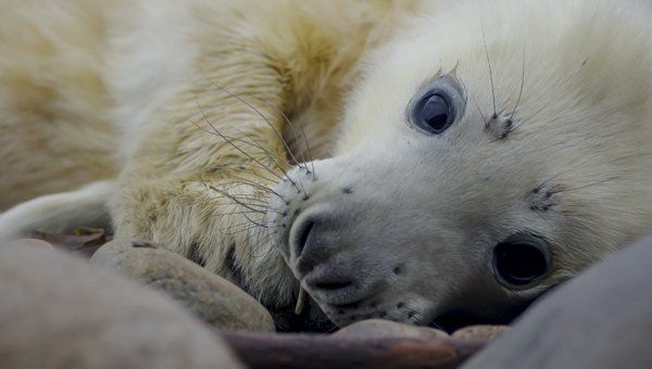 Grey Seal Pupping Photography Tour