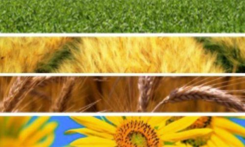 linee orizzontali con rappresentata erba,campo, spighe di grano,e girasoli