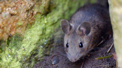 Rat control experts