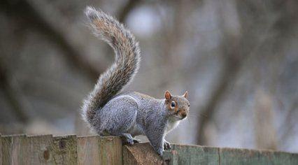 Grey squirrel infestations