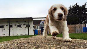 A brown and cream dog enjoying a run outside