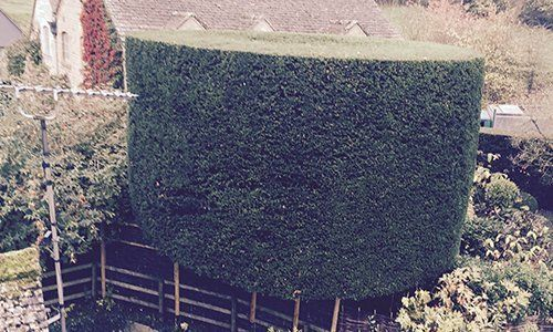 topiary hedge in shape of a drum