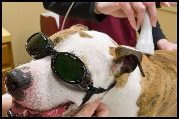 Veterinary Laser Therapy in Houston, TX