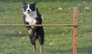 dog attempting a high jump