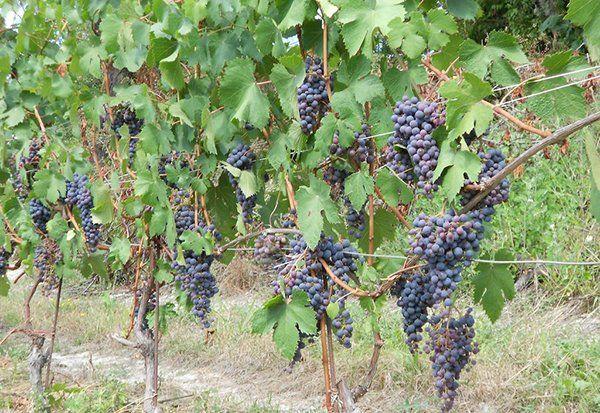 Primo piano delle vigne caricate di uva