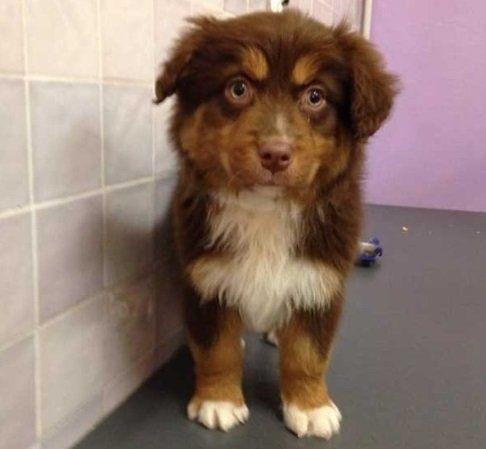 una cane con pelo marrone