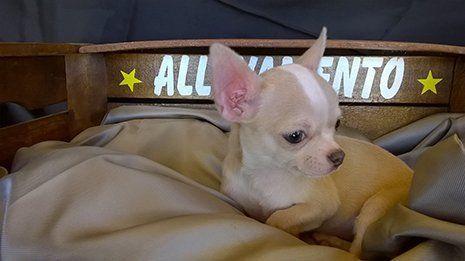 Chihuahua beige