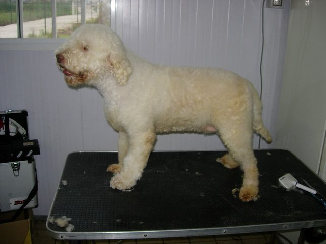 Toelettatura a macchinetta di un cane presso l'allevamento del piccolo tempo a Badia Pavese