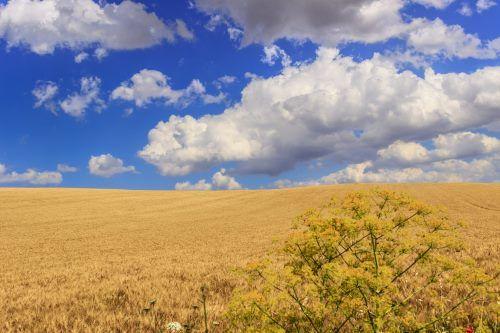 Paesaggio di un campo di frumento pronto per il raccolto