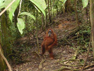 Sumatra Rundreise Orang Utans