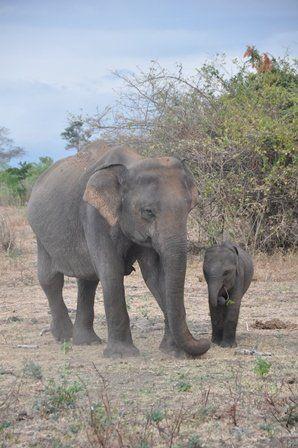 Sri Lanka, Udawalawe, Elefanten