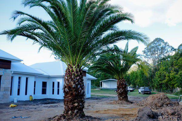 planted palm tree next to house
