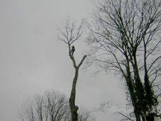 A man in a tall tree against a grey sky