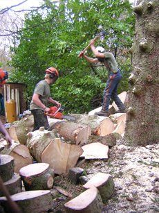 Men chopping logs from tree stumps