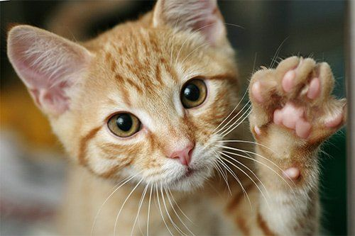 Problems With Your Cat's Paws: Symptoms, Causes, and Prevention