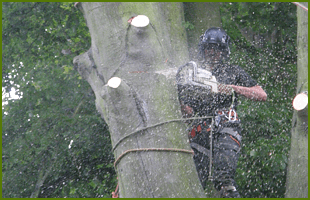 Tree surgeon with a chainsaw up a tree