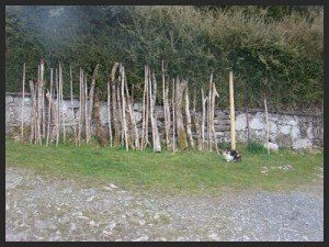 Hazel walking sticks