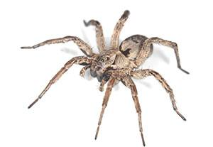 Wolf Spider Removal