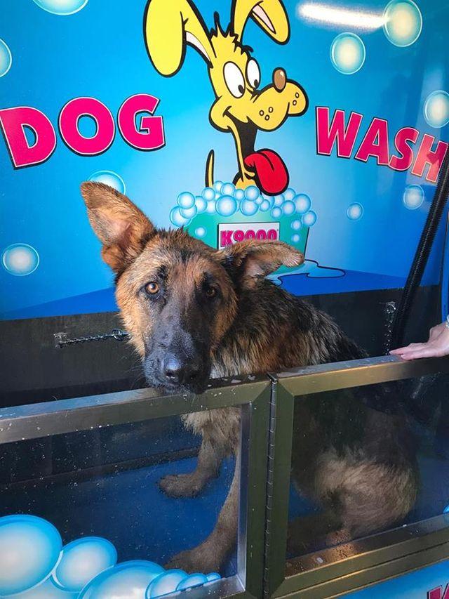 dog wash grooming clean german shepard