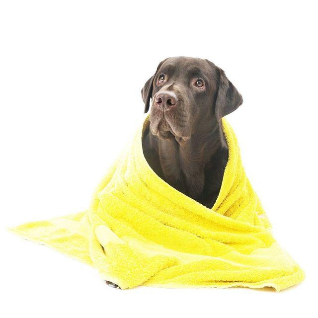 Lavaggio Labrador a Induno Olona
