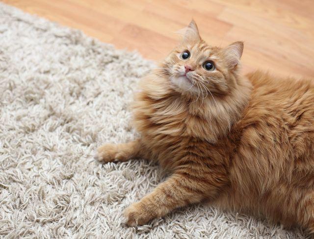 A safe, happy cat on a clean carpet