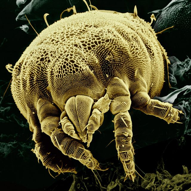 Close-up of a dust mite