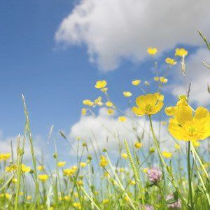 Yellow poppies in long grass under a blue sky
