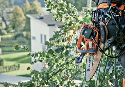 A tree surgeon up a tree with equipment dangling from his belt