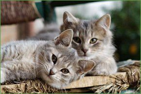Two fluffy grey kittens having a lie down