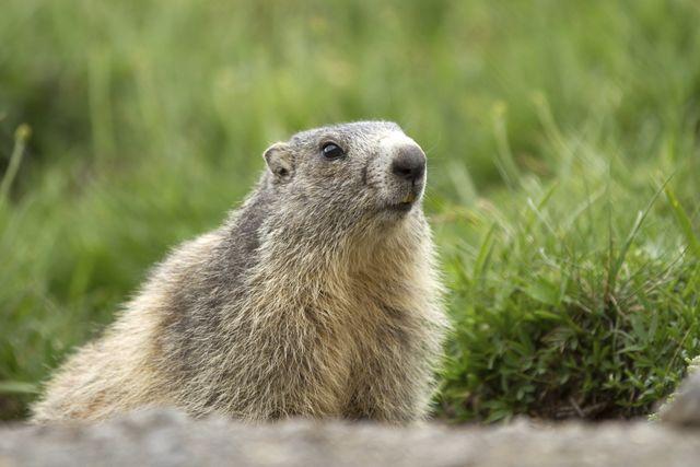 Groundhog Removal Durham Clayton Chapel Hill