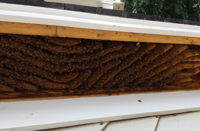 Bee Removal | Durham, Clayton, Chapel Hill, Morrisville, Knightdale