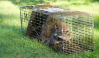 humane removal on racoon