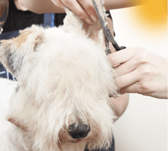 dog getting hair cut