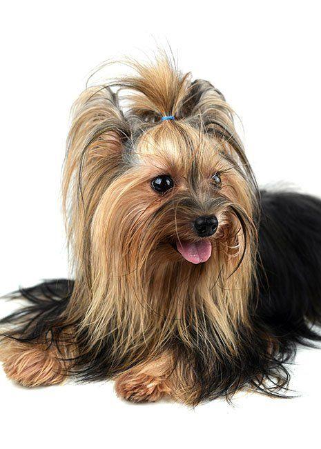 Un cane di razza Yorkshire